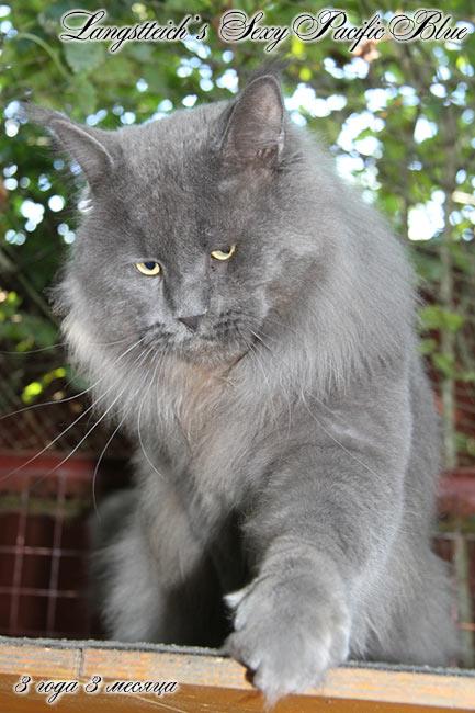 u00abgiantpets u00bb    maine coon  male cat